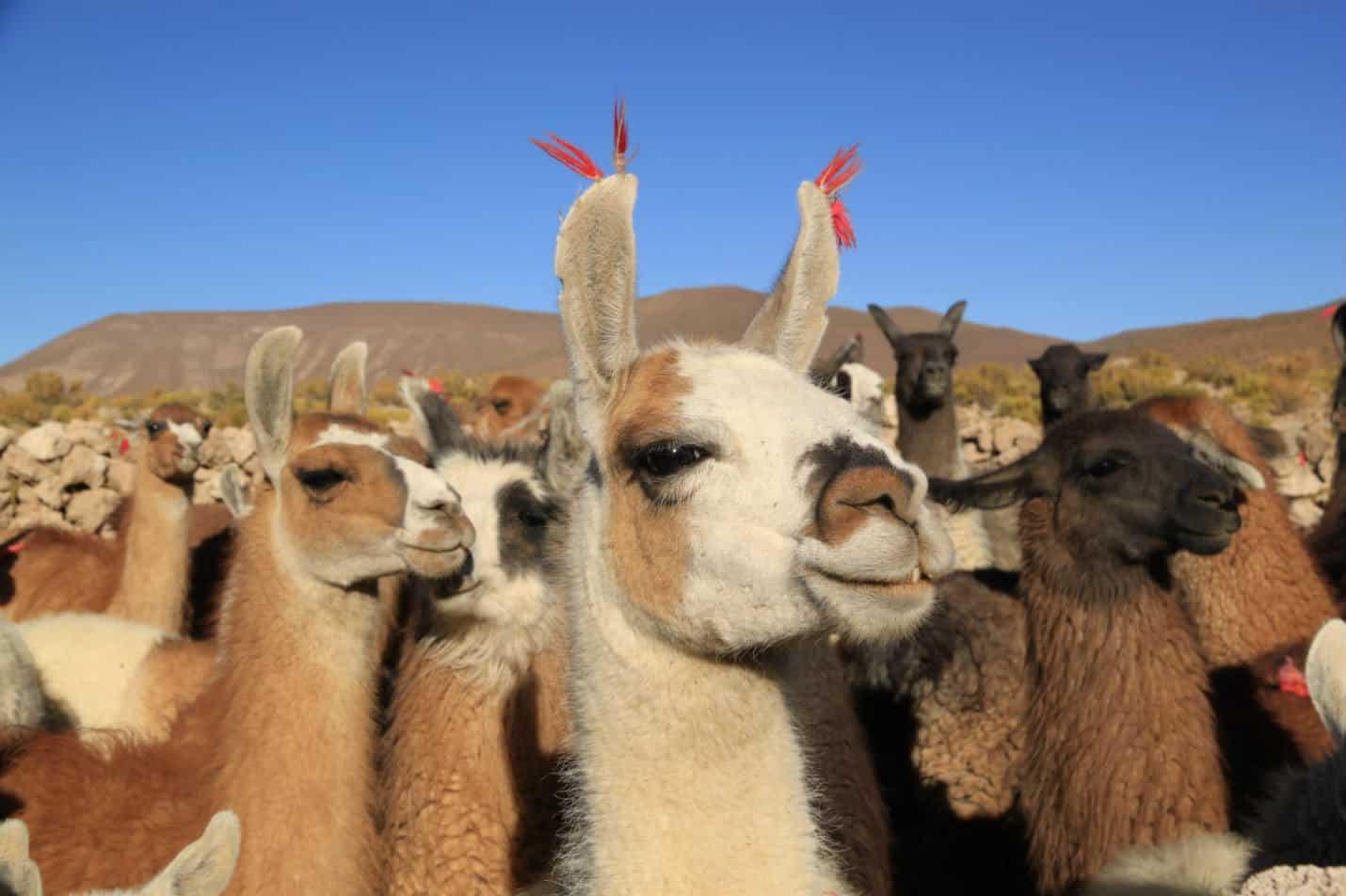 Warum spucken Lamas?