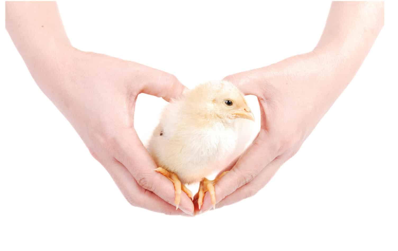 Wieso halten Hühner ihren Kopf immer gerade?