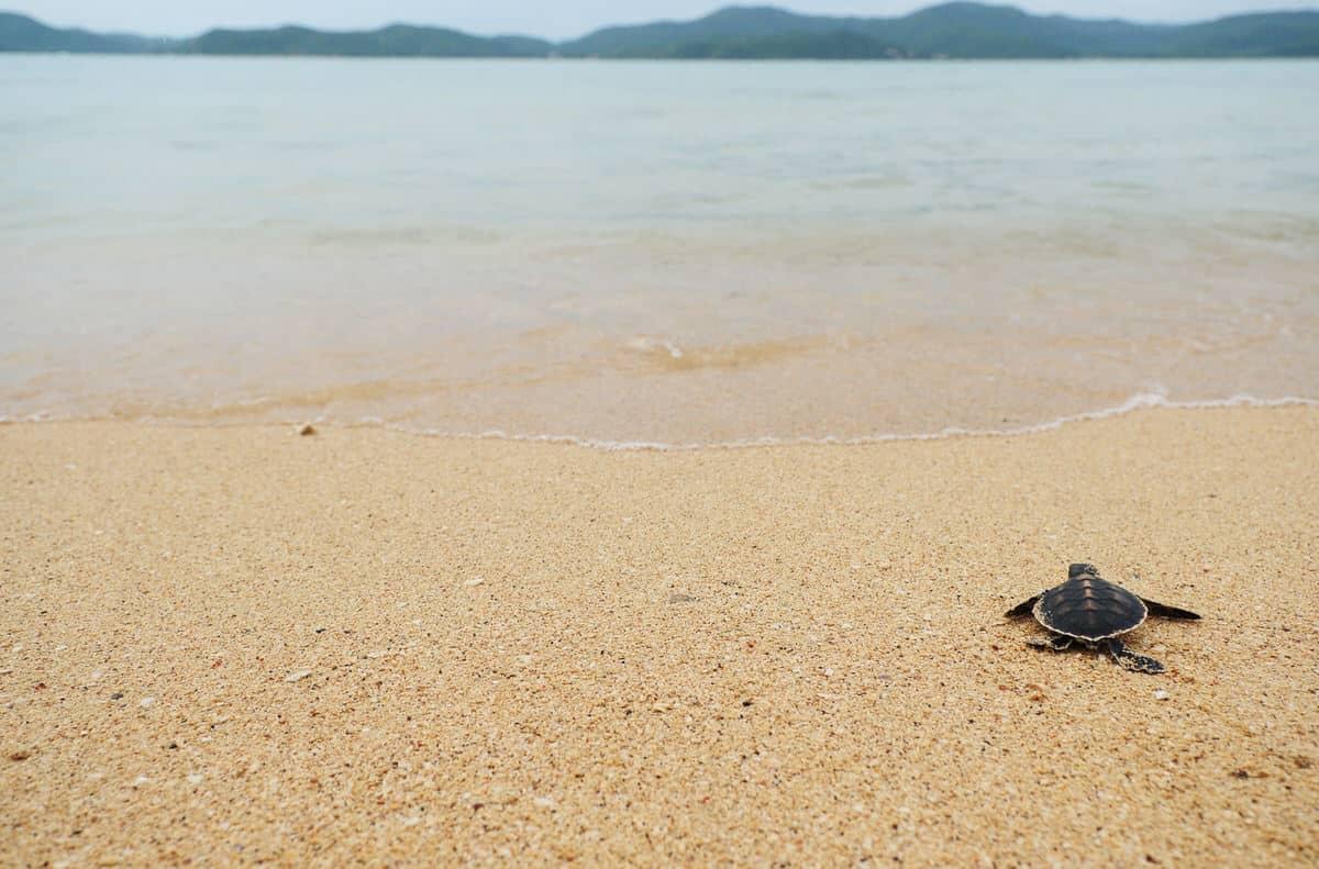 Warum streben frisch geschlüpfte Schildkröten sofort ins Wasser?