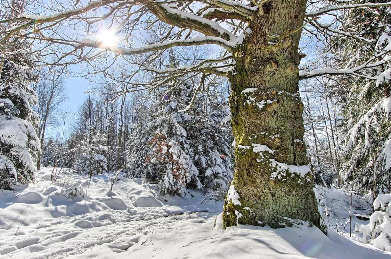 Friert ein Baumstamm im Winter durch?